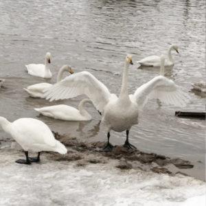 田んぼの白鳥たち